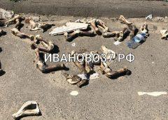 На трассе Иваново-Шуя на видео сняли разбросанные по дороге куски животных