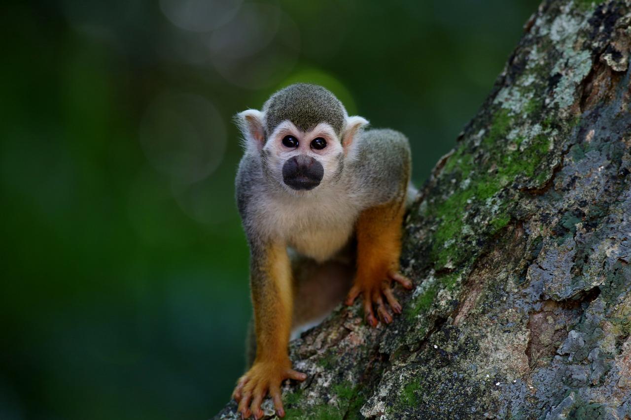 Два года условно - приговор владельцу обезьяны, покусавшей девочку в Юже