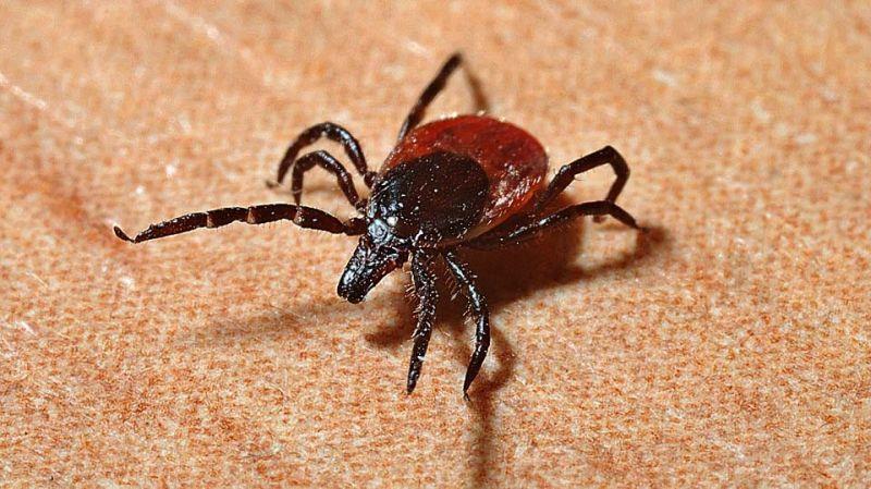 Инфицированный клещевым боррелиозом клещ заразил жителя Ивановской области